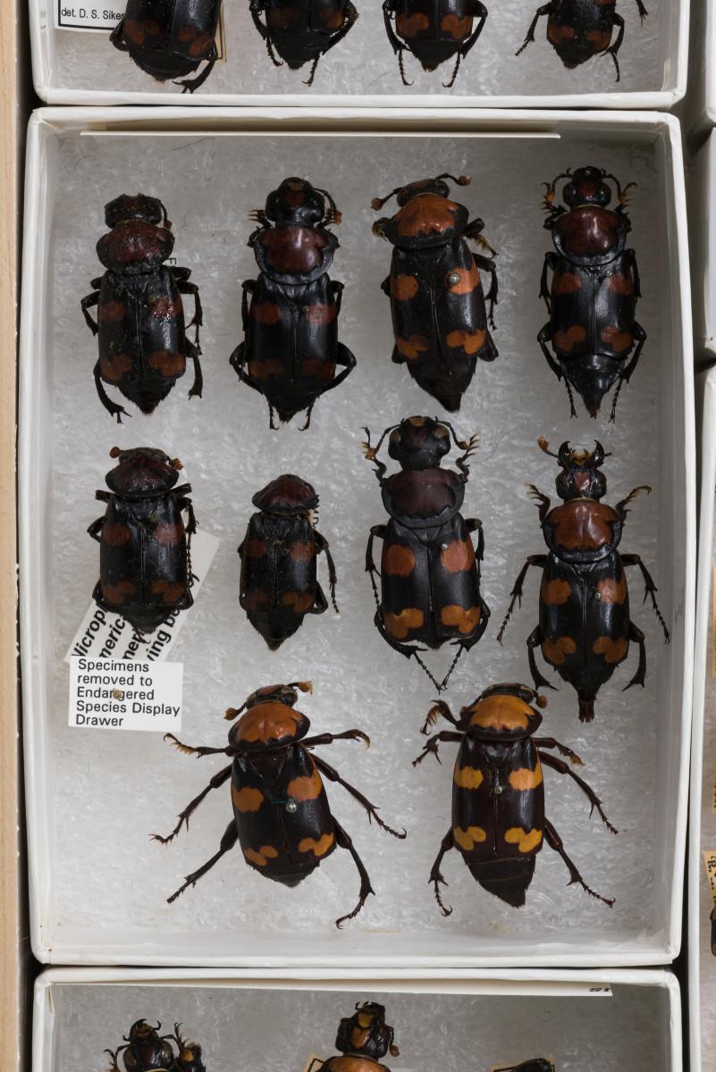 American Burying Beetle Extinction
