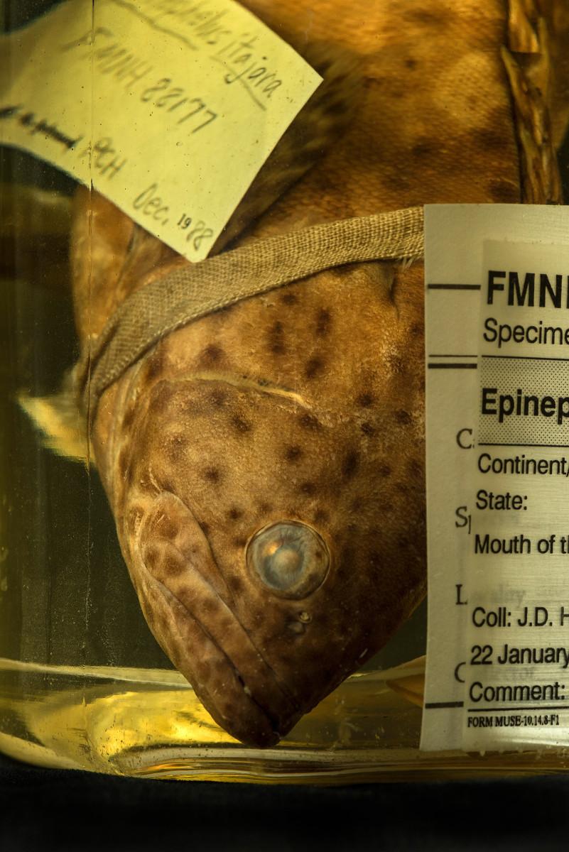 Atlantic Goliath Grouper fish Epinephelus itajara - Extinction