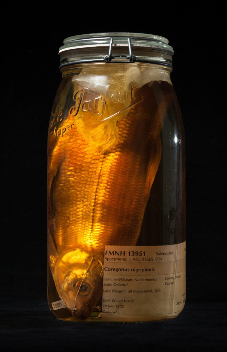 Blackfin Cisco fish Coregonus nigripinnis - Extinction