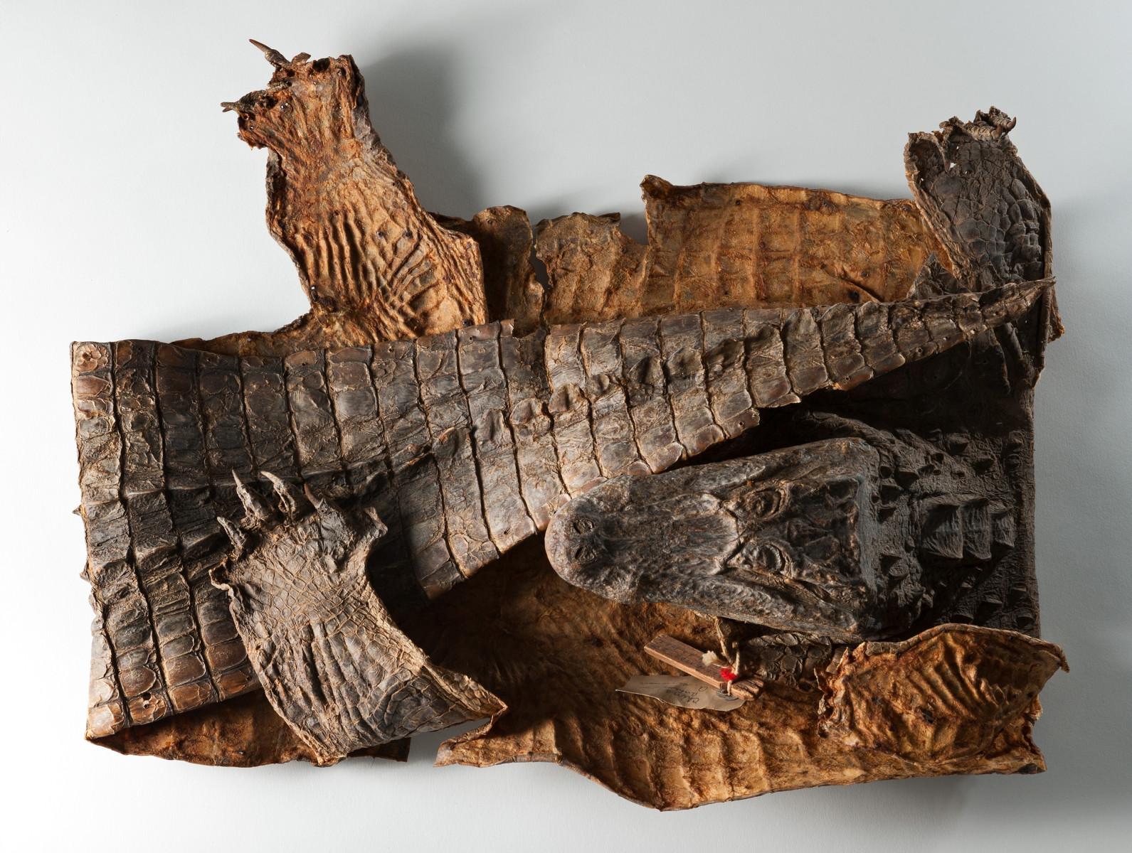 Chinese Alligator reptile Alligator sinensis - Extinction