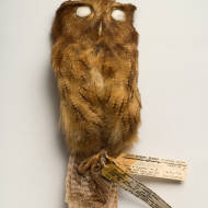 Cinnamon Screech-Owl