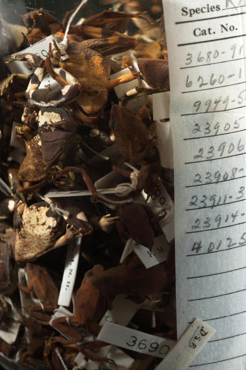 Darwins Frog amphibian Rhinoderma darwinii - Extinction