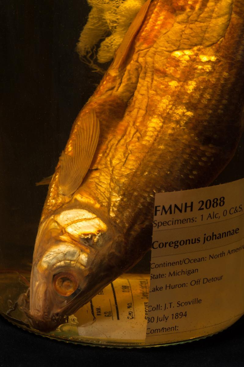 Deepwater cisco fish Coregonus johannae - Extinction