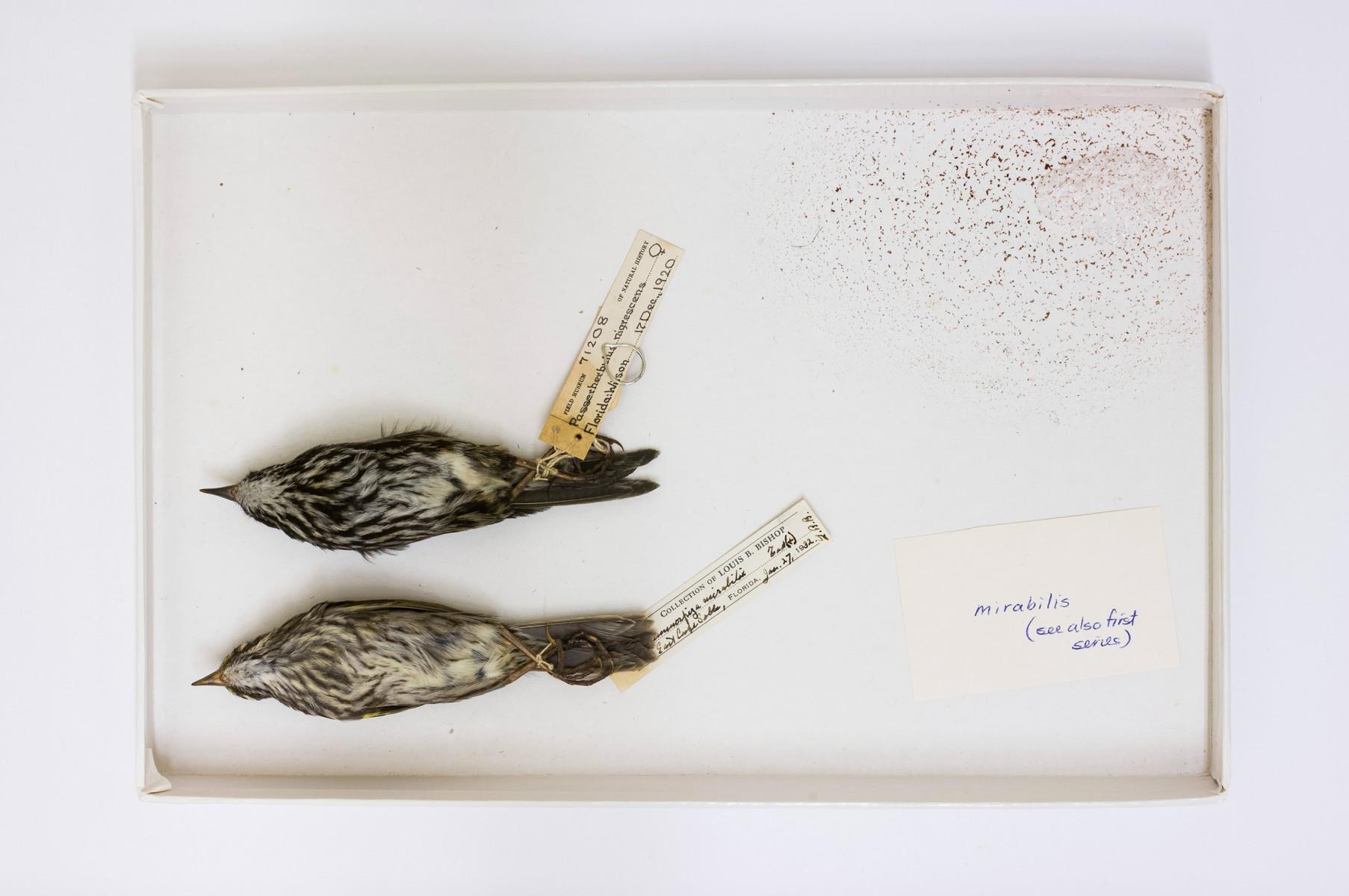 Dusky Seaside Sparrow bird Ammodramus maritimus nigrescens - Extinction