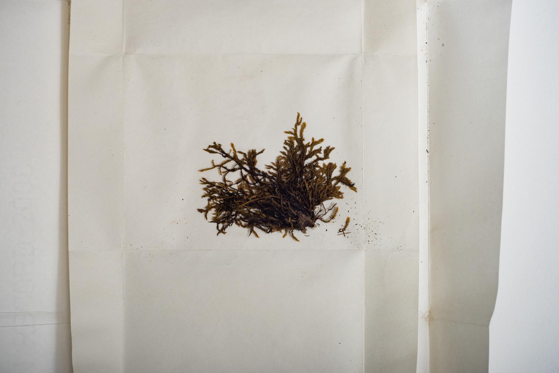 Fissidens hydropogon moss botany Fissidens hydropogon - Extinction