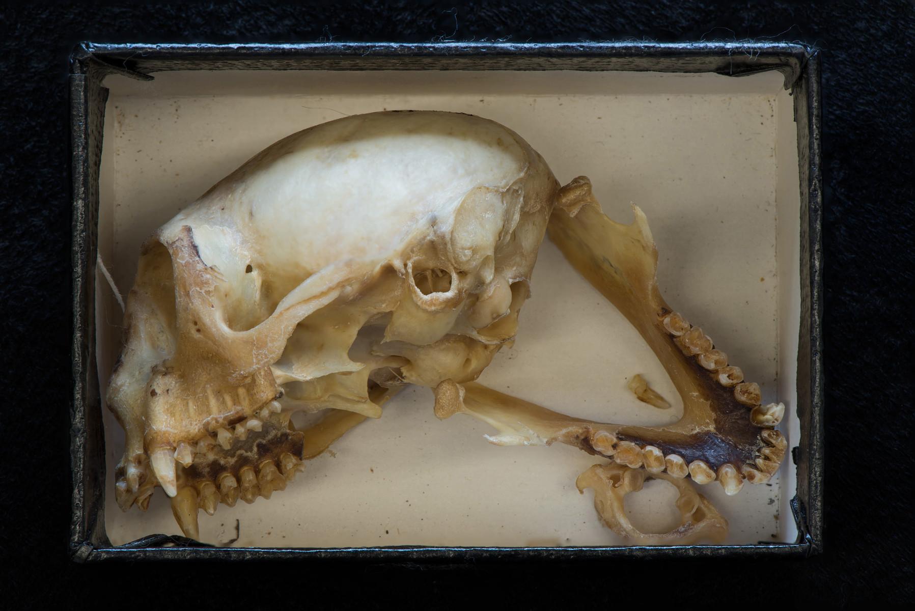 Golden Lion Tamarin mammal 01 Leontopithecus rosalia - Extinction