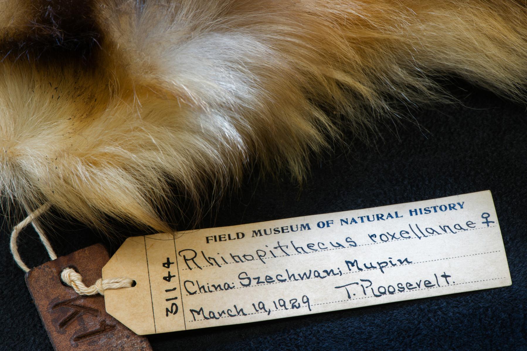 Golden Snub nosed Monkey mammal Rhinopithecus roxellana - Extinction