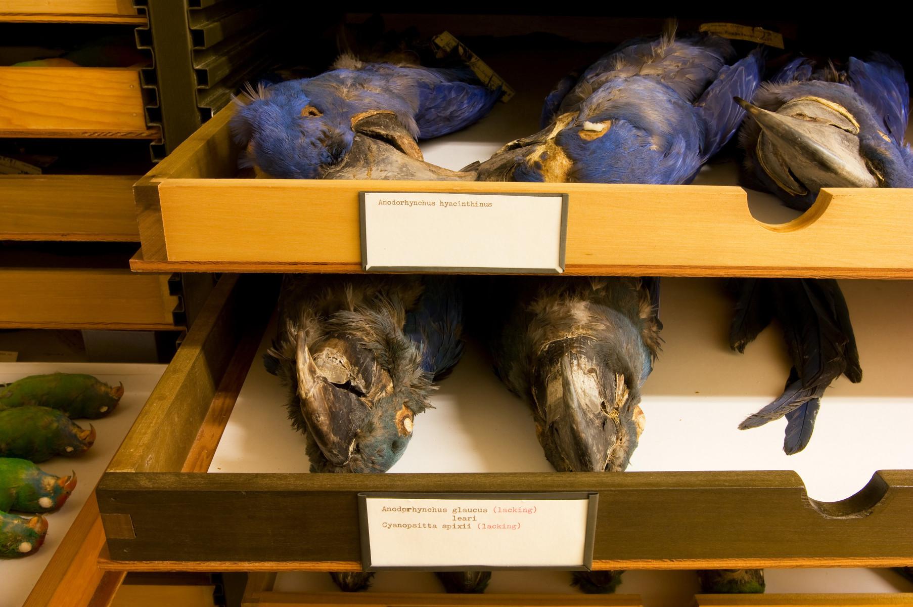Hyacinth macaw bird Anodorhynchus hyacinthinus - Extinction