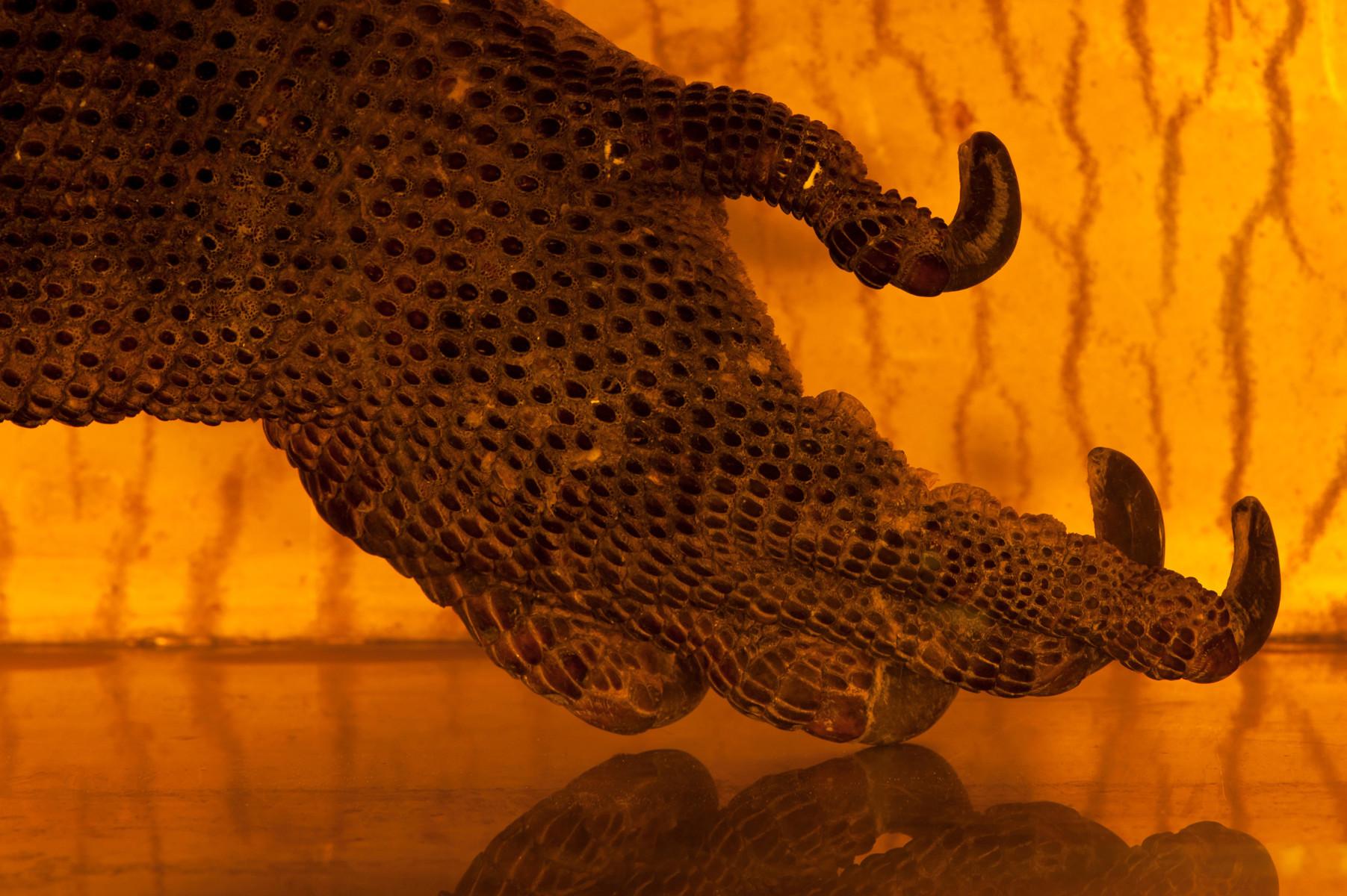 Komodo Dragon reptile Varanus komodoensis - Extinction