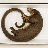 Long-tailed Pangolin