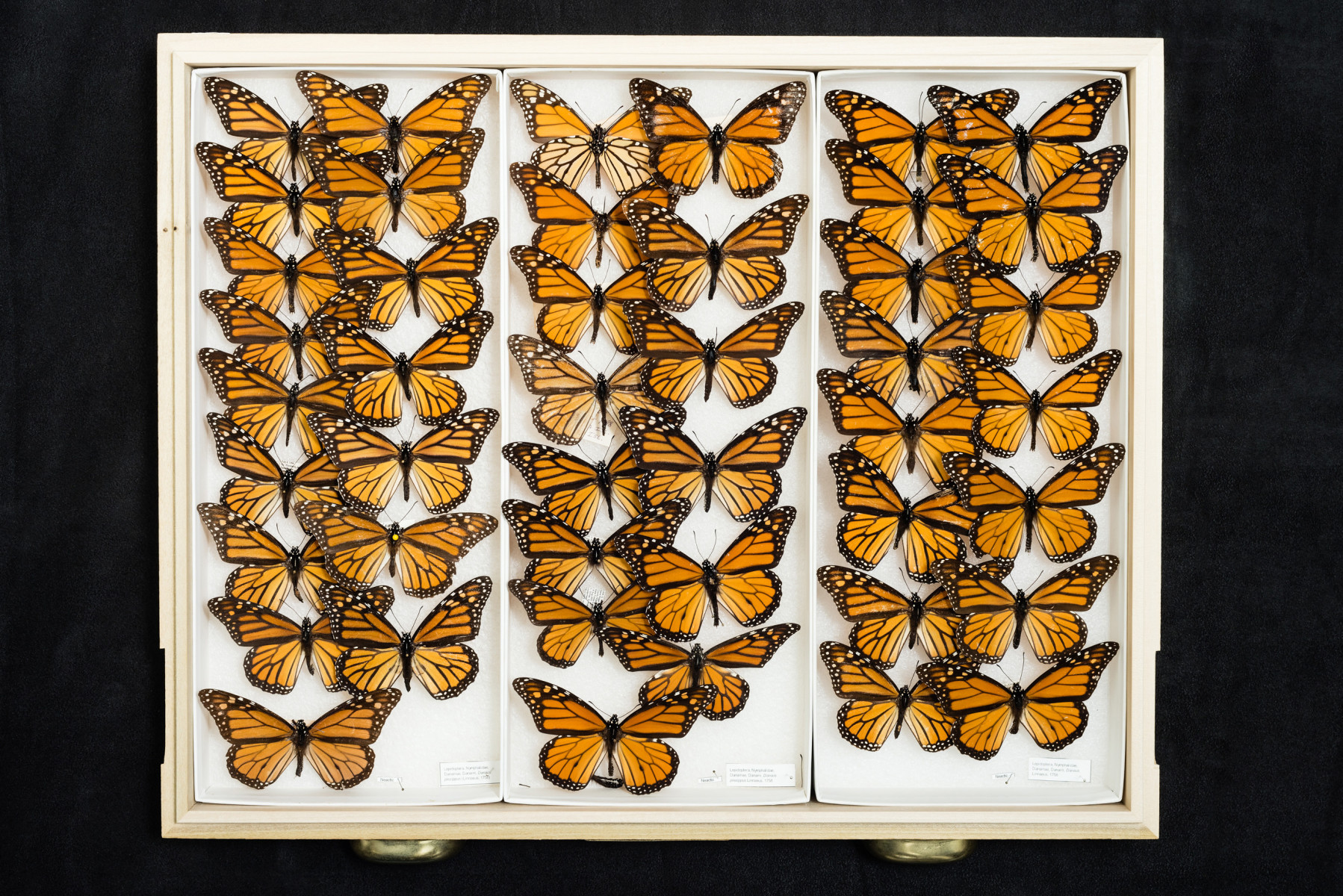 Monarch butterfly insect Danaus plexippus - Extinction