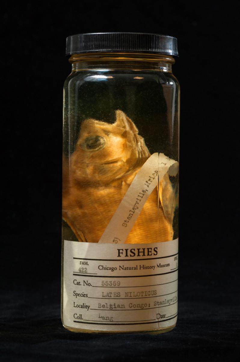 Nile Perch fish Lates niloticus - Extinction