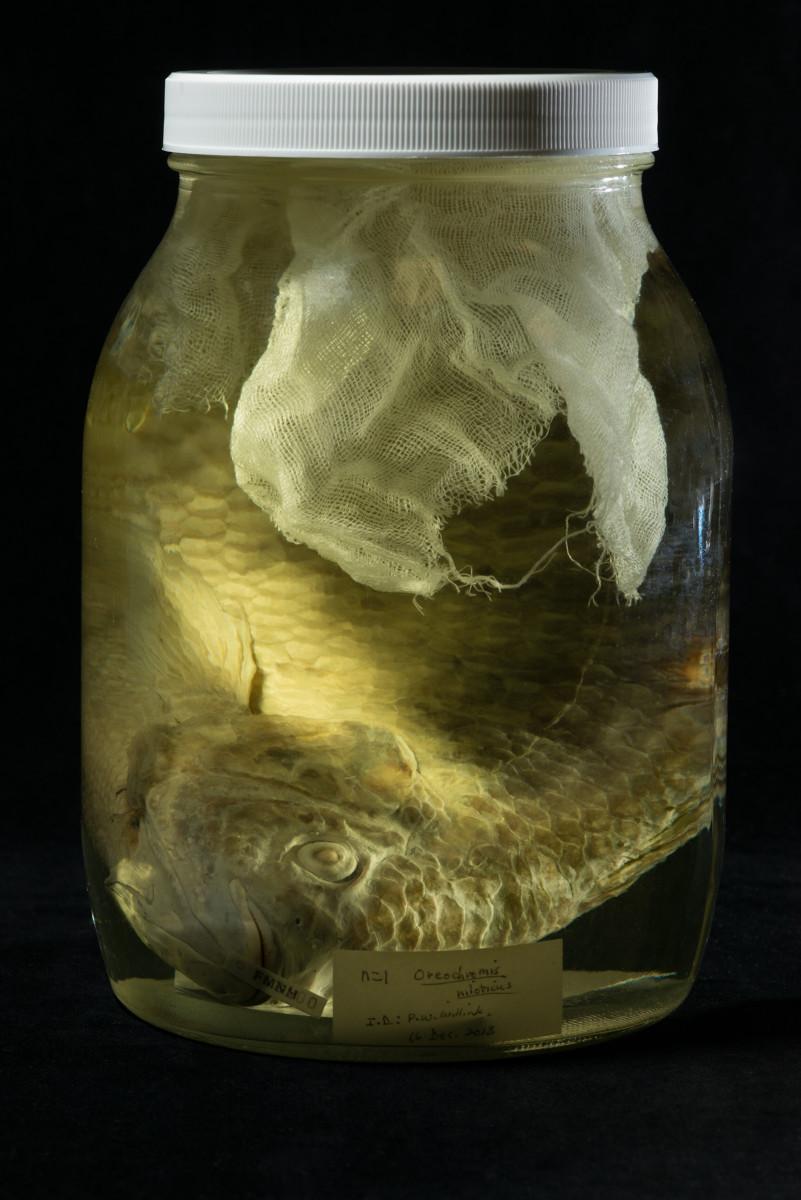 Nile Tilapia fish Oreochromis niloticus - Extinction