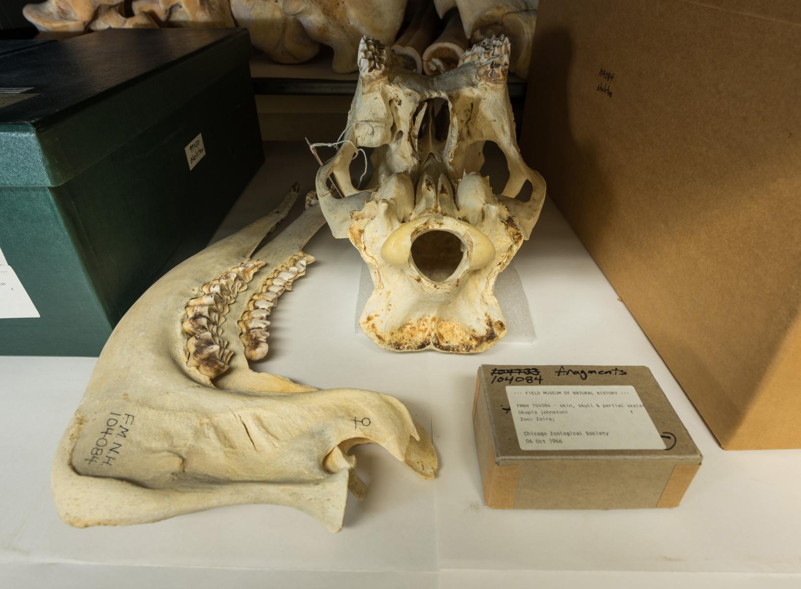 Okapi giraffid mammal Okapia johnstoni - Extinction