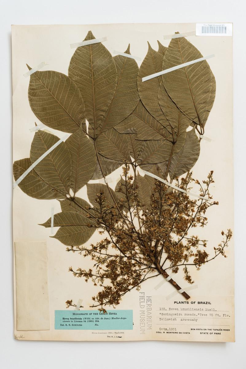 Para Rubber Tree plant botany Hevea brasiliensis - Extinction
