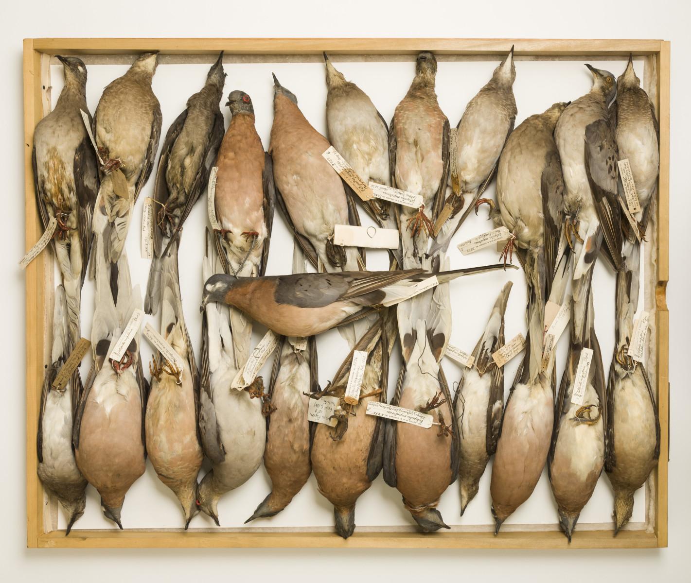 Passenger pigeon bird Ectopistes migratorius - Extinction