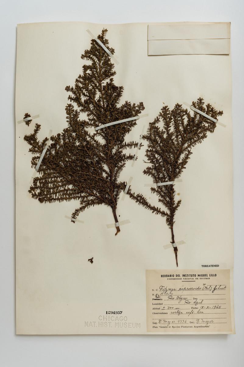 Patagonian Cypress plant botany Fitzroya cupressoides - Extinction