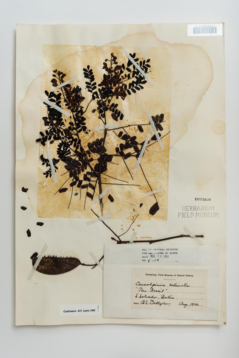 Pau Brasil plant botany Caesalpinia echinata - Extinction