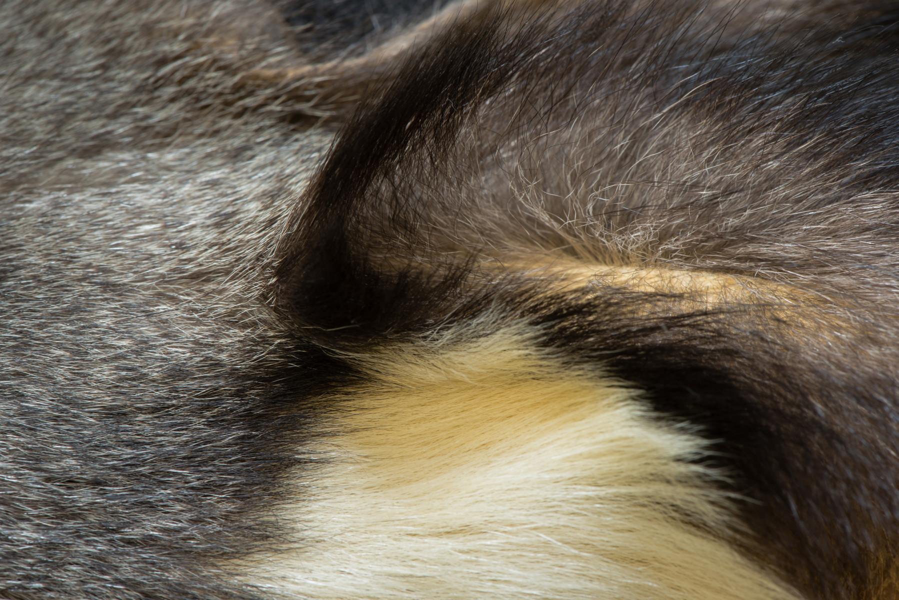 Red shanked Douc monkey mammal Pygathrix nemaeus - Extinction