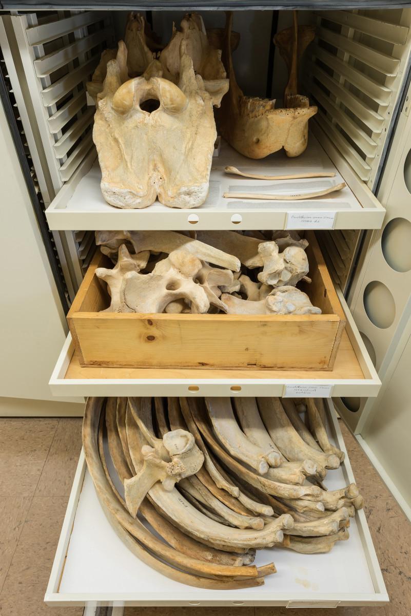 Southern White Rhinoceros mammal Ceratotherium simum simum - Extinction