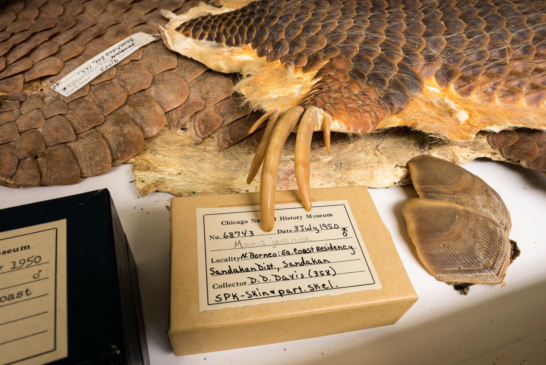 Sunda Pangolin mammal Manis tetradactyla, also Phataginus tetradactyla; Manis javanica - Extinction