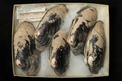 Spengler's Freshwater Mussel